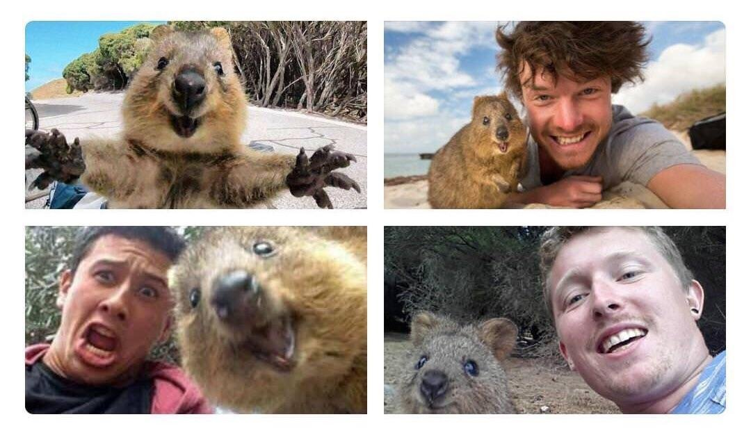Memes A Reminder That Quokkas Live On An Island With No Natural Predators,  So They Great Ideas