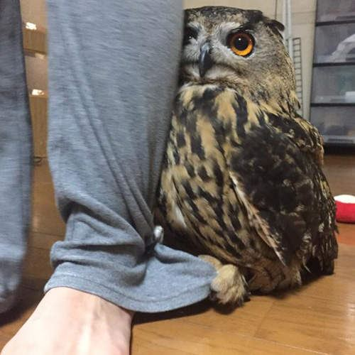Owl hides behind its owner whenever there is a visitor in the house